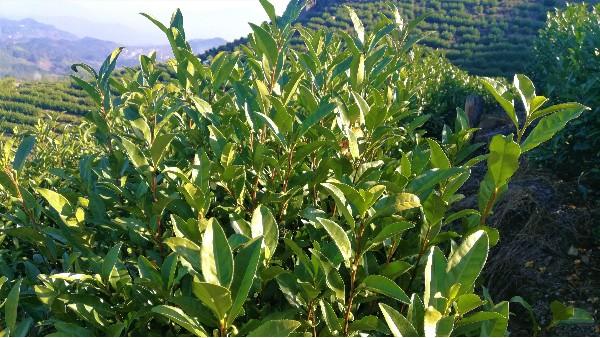 高山茶应属于哪类茶?绿茶还是红茶?【鸦鹊山】