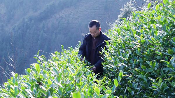 鸦鹊山带您分享一名转业军官的茶叶情怀