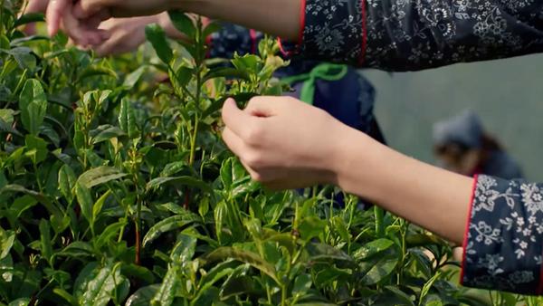 喝安吉白茶可以减肥?安吉白茶有减肥的功效吗?