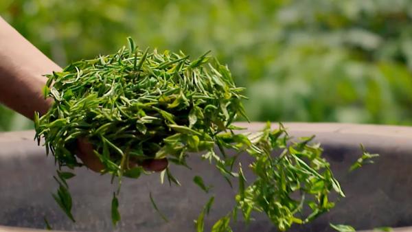 安吉白茶保存方法有哪些?