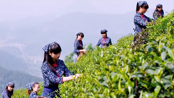 安吉白茶过期还能喝吗?礼品茶定制厂家告诉您