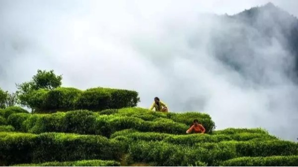 高山茶的生长环境:好环境才能种出好茶来【鸦鹊山】