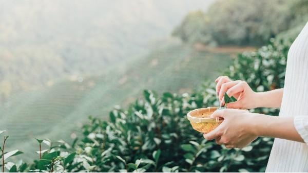茶叶礼品怎么送对,是有讲究的【鸦鹊山】