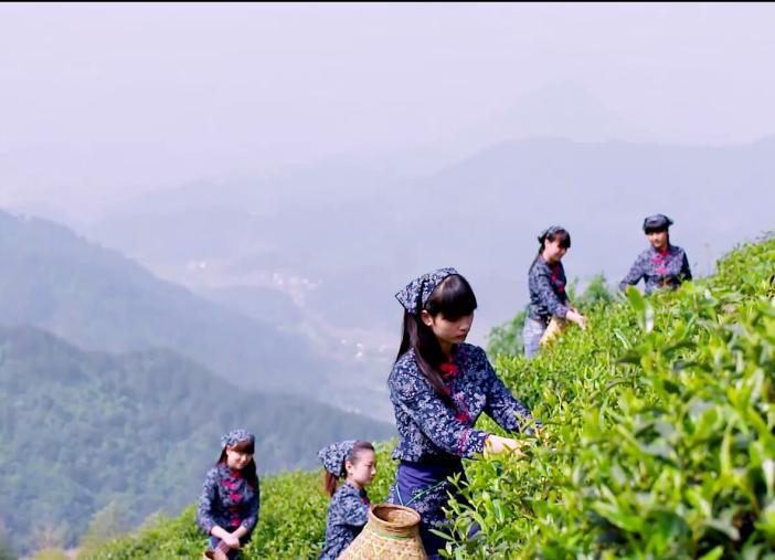 为什么都说高山茶好,该如何辨别?