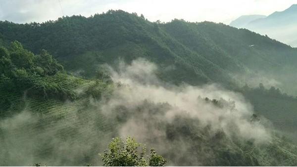庐山云雾茶是红茶还是绿茶?答绿茶,红茶属于全发酵茶!【鸦鹊山】