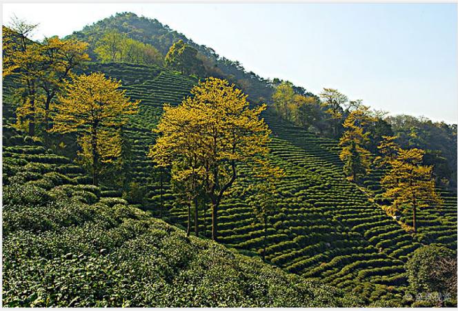 高山茶,为什么是茶友的挚爱?
