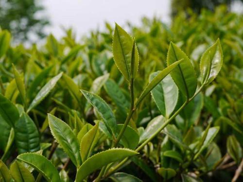 台湾高山茶为什么有茉莉花香?是加工出来的吗【鸦鹊山】