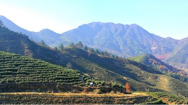 为啥高山茶比平原茶好?不都是茶叶吗?【鸦鹊山】