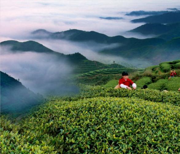 庐山云雾茶如何分辨,庐山云雾茶如何泡好喝?