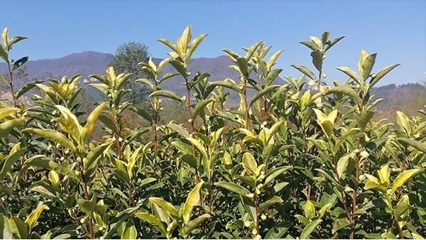 高山茶比平地茶好在哪里?仅仅是海拔高吗?【鸦鹊山】