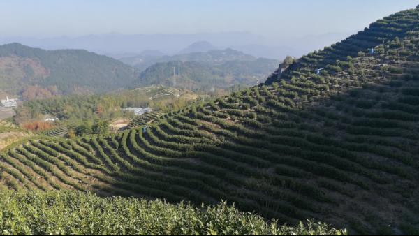 高山茶是向阳好还是背阳好?光照对茶树有什么用!【鸦鹊山】