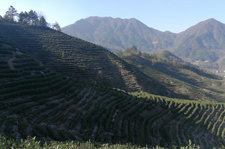 高山安吉白茶与白茶的香气区别。