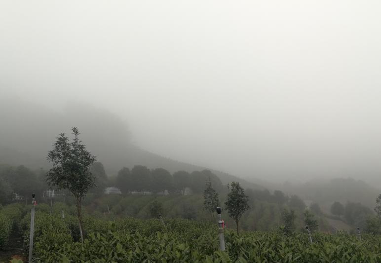 云雾安吉白茶与白茶的区别