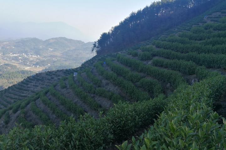 海拔600米的茶叶算高山茶吗?高山茶称呼的起源?【鸦鹊山】