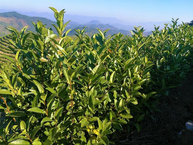 高山茶没农药吗?环境优势虫害少【鸦鹊山】