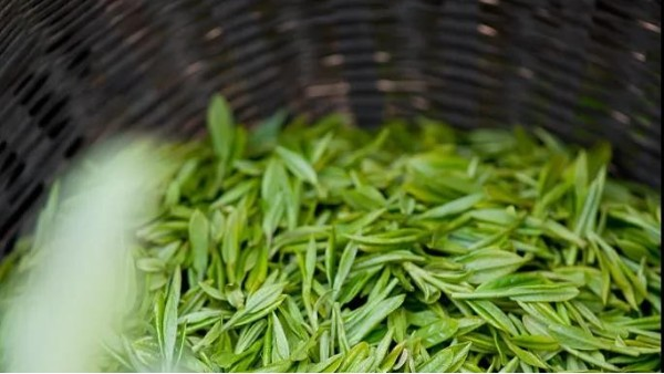 云雾茶的等级?揭秘一种茶叶为何价格相差大?【鸦鹊山】
