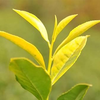 黄金茶产品
