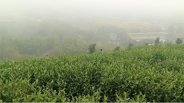 云雾茶营养?垃圾茶有哪些类型?【鸦鹊山】