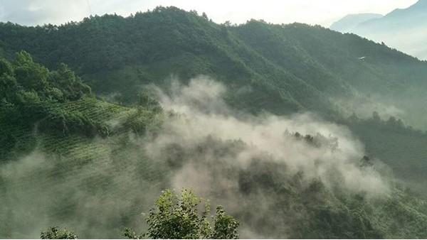 英山云雾茶特点分析 一茶品天下【鸦鹊山】