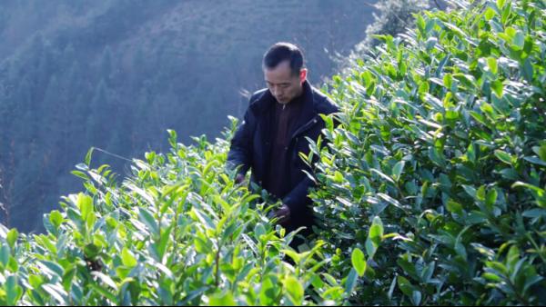 高山茶与平地茶有什么不同,制作工艺对茶叶影响大吗?