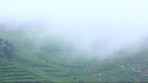云雾茶是八大产茶圣地的产物,爱茶的你喝过几个?(之一)【 鸦鹊山】