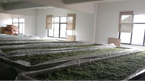 合肥茶叶厂家,自有茶山的高山白茶【鸦鹊山】