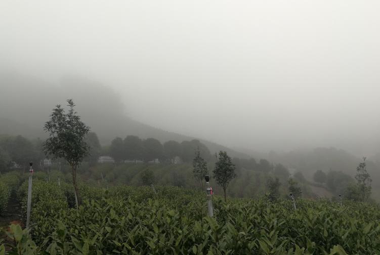 云端养心泡一壶云雾茶,待春来
