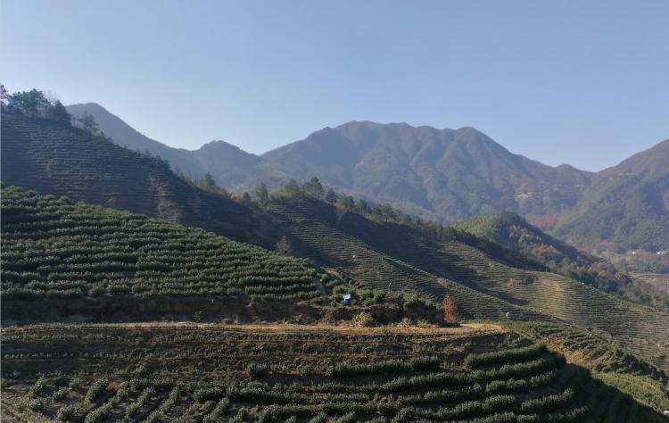 保留自然之福的高山茶,鸦鹊山高山白茶