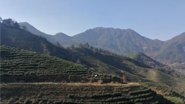 保留自然之福的高山茶,鸦鹊山高山白茶 【鸦鹊山】