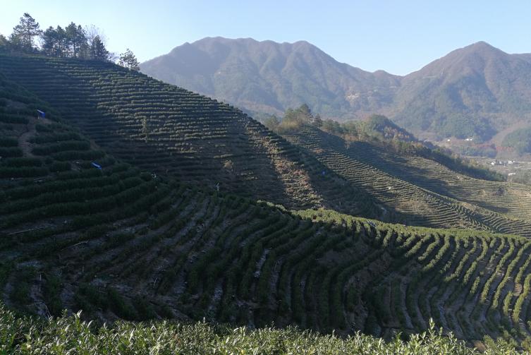 如何挑选高山茶,那些因素影响高山茶品质?