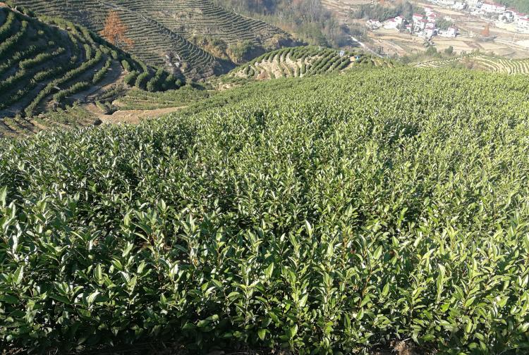 高山茶海拔多少才算高山茶