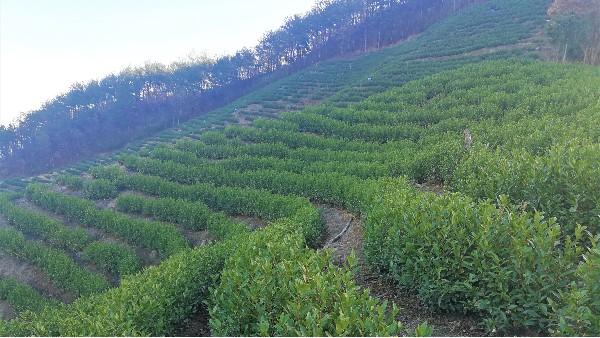 合肥茶园厂家,精品高山茶,精美礼盒装【鸦鹊山】