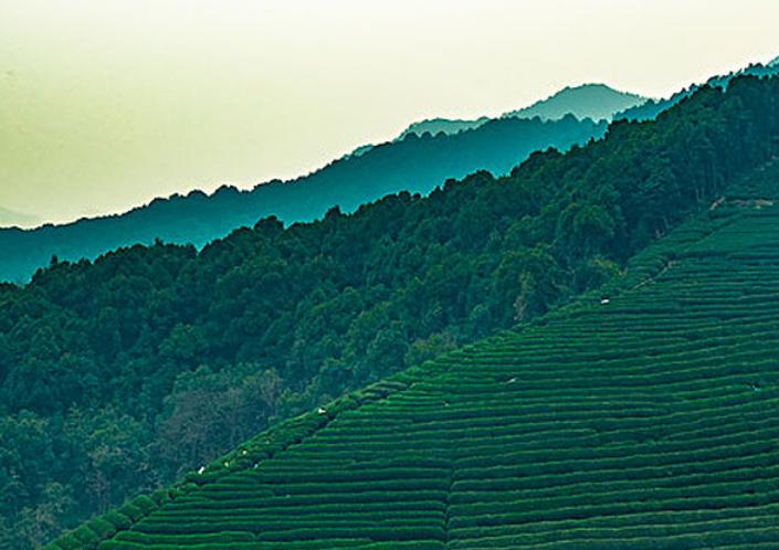 台湾高山茶和高冷茶?高冷茶是什么茶?【鸦鹊山】
