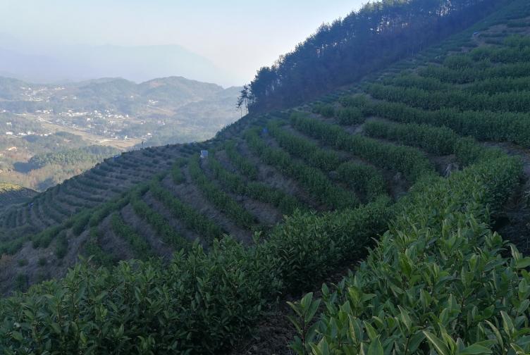 """高山云雾茶和白茶有何区分?浅谈""""白茶""""【鸦鹊山】"""