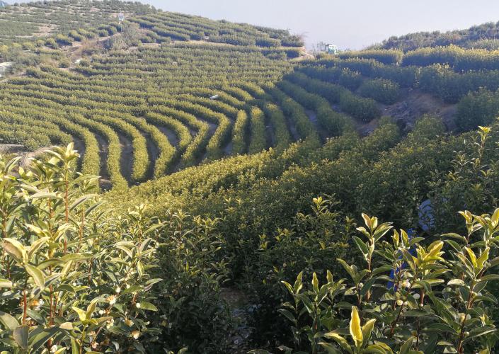 如何区分高山茶与低山茶