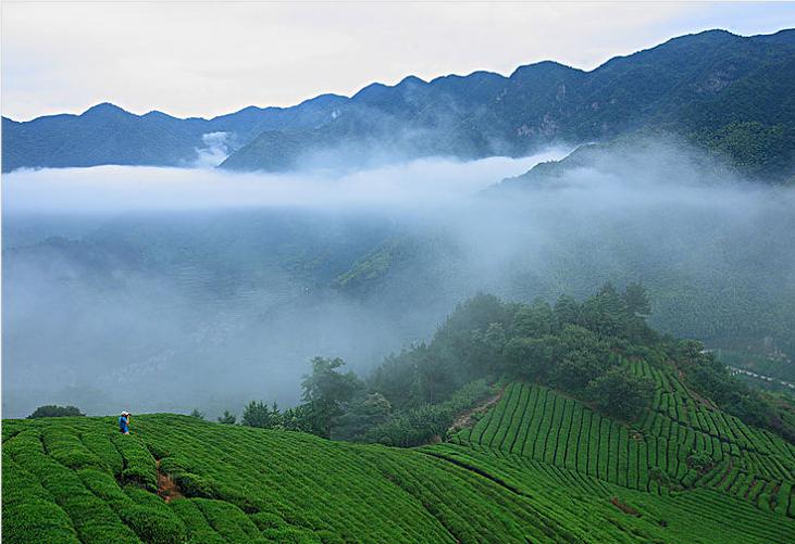 庐山云雾茶属于什么茶?庐山云雾茶