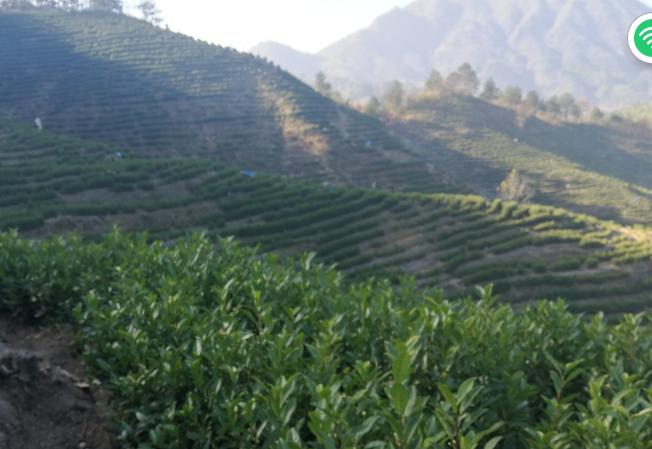 高山茶海拔多少米品质好?