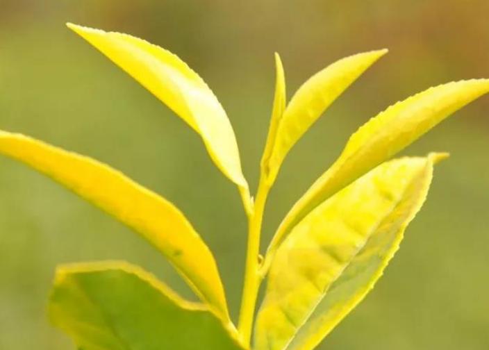 有一种茶叫安吉黄金芽:茶贵如黄金,可遇不可求也【鸦鹊山】
