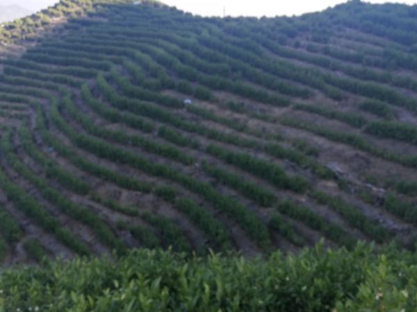 台湾高山茶的种类,台湾高山茶如何鉴别?【鸦鹊山】