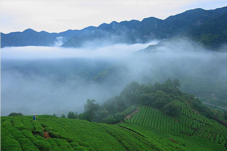 寻找云雾茶,皖南鸦鹊山