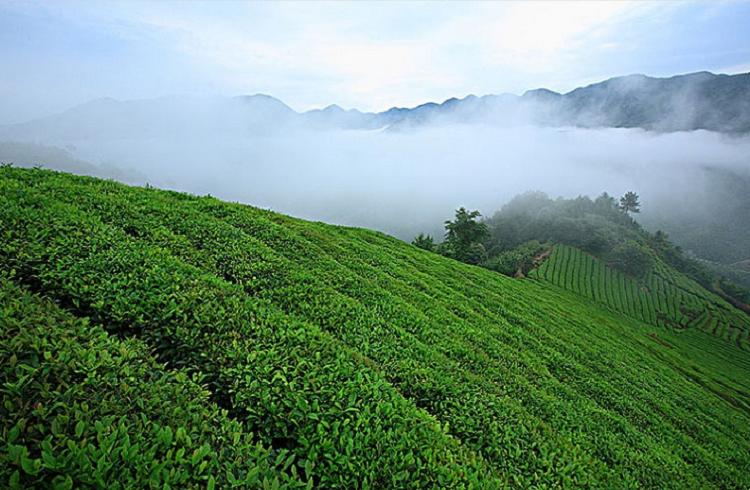 天目山云雾茶是什么茶?是上品绿茶 【鸦鹊山】