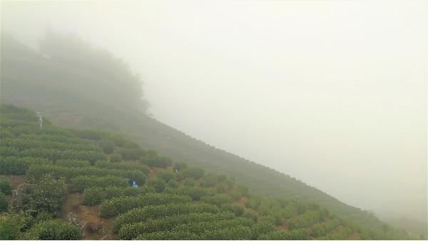 黄金茶产区云雾缭绕原因,好茶在于产地!【鸦鹊山】