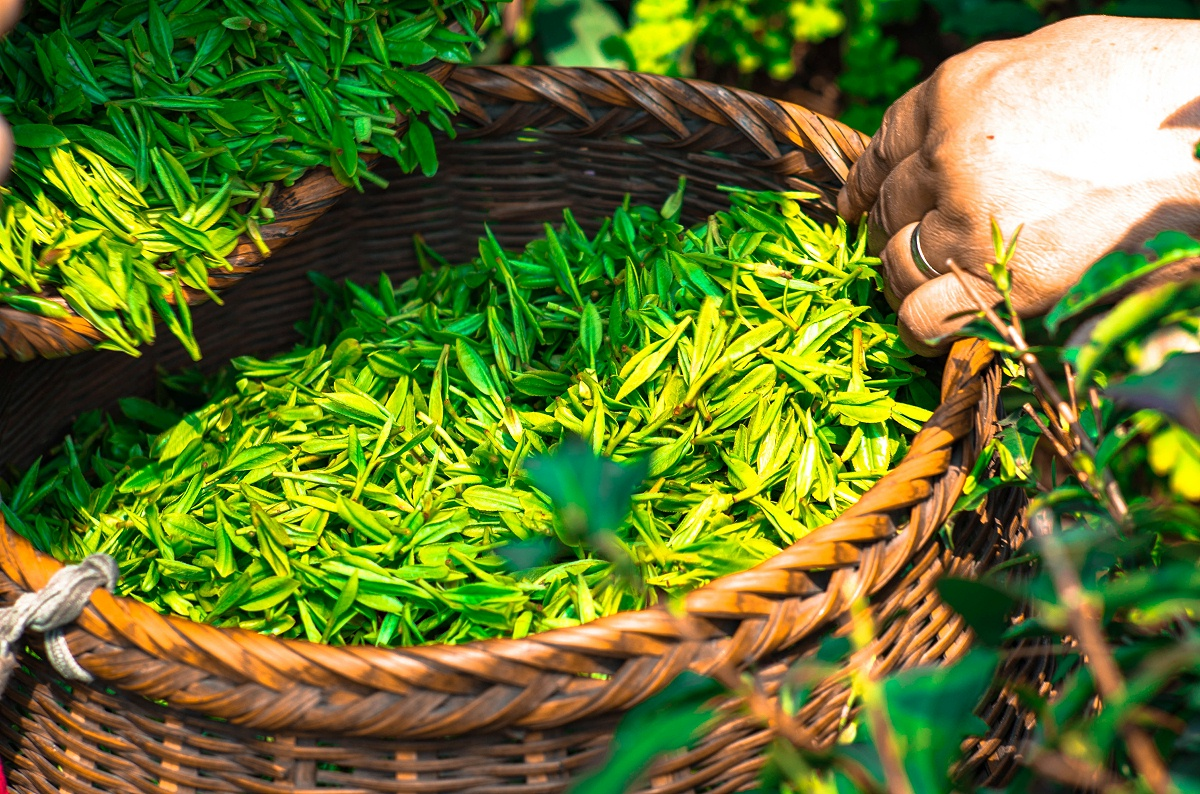 高山绿茶的加工工艺?传统杀青,保留天然营养成份【鸦鹊山】