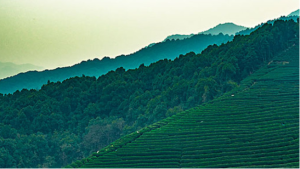 台湾高山茶,冻顶乌龙尤为佳。【鸦鹊山】