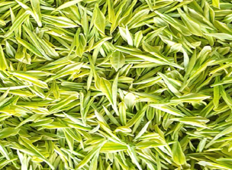 鸦鹊山高山白茶采摘标准及采摘后的鲜叶管理