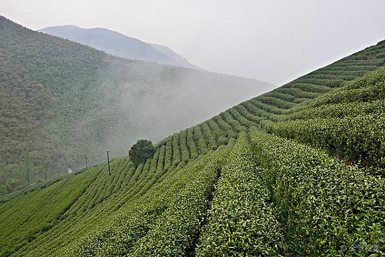 阿里山高山茶适合煮吗?煮茶更甘醇!【鸦鹊山】