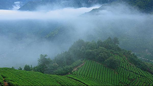 台湾高山茶特色:南方有嘉木,色绿味甘醇【鸦鹊山】