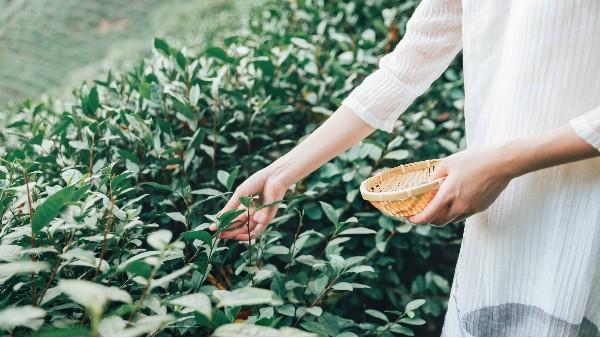 黄金茶适合女性喝吗?喝茶赋予女性健康和魅力【鸦鹊山】
