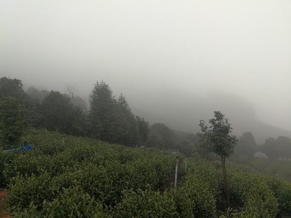 高海拔种植高山茶的优势?好的产地才有好的茶叶【鸦鹊山】