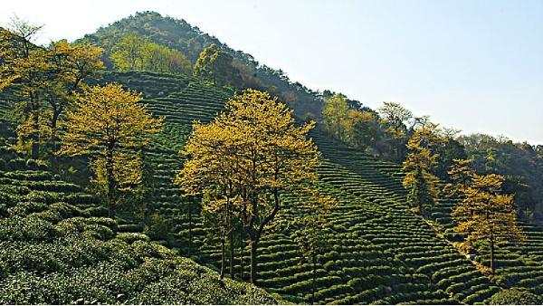 高山茶到底好在哪里?得天独厚的生长环境让人称赞!
